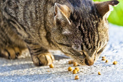 Eating Cat Royalty Free Stock Photography
