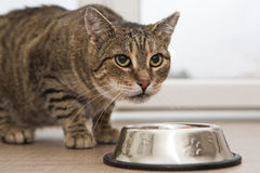 Eating cat Royalty Free Stock Image