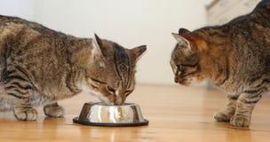Eating cat Royalty Free Stock Photos