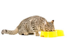 Eating cat Scottish Straight Royalty Free Stock Photos