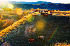 The eating cattle on the hillside sunset Royalty Free Stock Photography