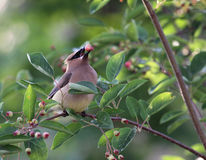 Eating Cedar Waxwing. A Cedar Waxwing (Bombycilla cedrorum), eating a serviceberry Stock Image