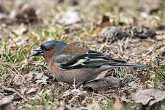 Eating chaffinch sitting on the ground. Royalty Free Stock Photos