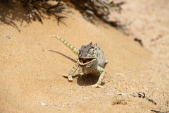 Eating_chameleon. Chameleon eating an insect in the desert of Namibia Royalty Free Stock Image