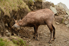 Eating chamois in fog in Tatra mountains Stock Images
