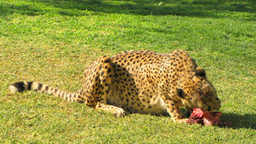 Eating cheetah Royalty Free Stock Image