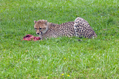 Eating cheetah Royalty Free Stock Photo