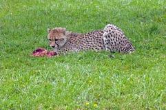 Eating cheetah Royalty Free Stock Photo