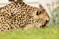 Eating Cheetah. In National Park of Etosha Royalty Free Stock Photography
