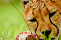 Eating Cheetah. In a Reserve Stock Images