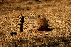 Eating cheetah. The cheetah was at the De Wildt Cheetah Project in South Africa. Were they were breed in captivity Stock Photo
