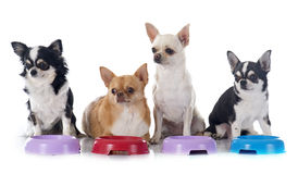 Eating chihuahua Royalty Free Stock Photography