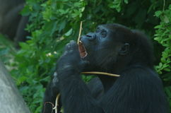Eating chimpansee in zoo in the Netherlands Royalty Free Stock Photos