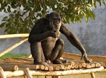 Eating chimpanzee. Chimpanzee eating while sitting on wooden platform stock photos