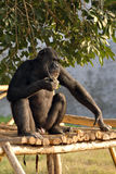 Eating chimpanzee Royalty Free Stock Images
