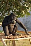 Eating chimpanzee royalty free stock images