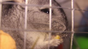 Eating chinchilla. Close-up chinchilla eat the apple stock video footage