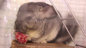 Eating chinchilla. Close-up chinchilla eat the grain stock footage