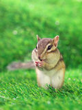 Eating Chipmunk Royalty Free Stock Photography