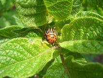 Eating Colorado beetle Stock Photography