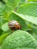 Eating Colorado beetle Royalty Free Stock Image