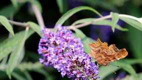 Eating Comma butterfly at pink Buddleja flower stock video
