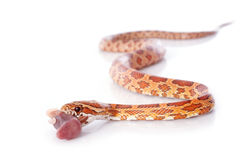 Eating corn snake Royalty Free Stock Photography