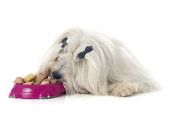 Eating coton de tulear. Coton de tulear in front of white background Stock Image
