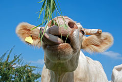 Eating cow Stock Photography