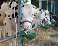 Eating cow. Eatig cow in cow farm Stock Photos