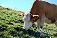 Eating cow. A withe-brown cow eating summer grass on the alp Royalty Free Stock Images