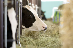 Eating cows. In the barn Stock Photography