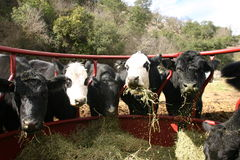 We are eating!. Cows and a bull at round bale feeder eating royalty free stock photos