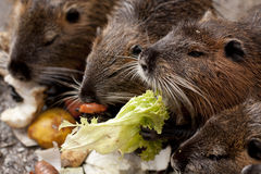 Eating Coypu Stock Images