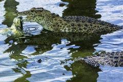 Eating Cuban crocodile / Crocodylus Rhombifer / royalty free stock image