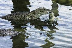 Eating Cuban crocodile Crocodylus Rhombifer is a small species of crocodile endemic to Cuba - Peninsula de Zapata. National Park / Zapata Swamp, Cuba royalty free stock photo