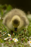 Eating cute little duckling Royalty Free Stock Images