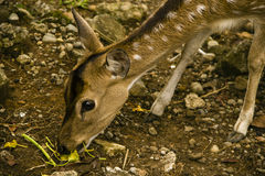 Eating deer. A young Deer eating planst Stock Photo