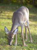 Eating deer. Whitetail doe that is eating in a grassy field royalty free stock image