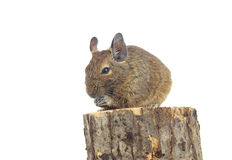 Eating Degu Stock Images