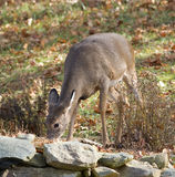 Eating doe. Whitetail deer female eating a meal in autumn stock photos