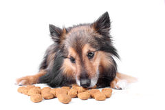 Eating dog Royalty Free Stock Photo