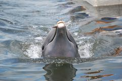 Eating Dolphin Royalty Free Stock Images