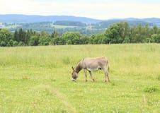 Eating donkey. Grey donkey eating the grass on pastureland stock photo