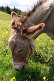 Eating donkey Vosges Mountains  Royalty Free Stock Photos