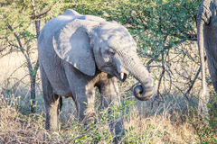 Eating Elephant in the Kruger. Royalty Free Stock Photos