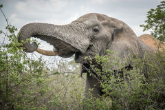 Eating Elephant in the Kruger National Park, South Africa. Royalty Free Stock Images