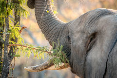 Eating Elephant in the Kruger National Park, South Africa. Stock Photos