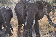 Eating elephants. In african savanna Stock Photo