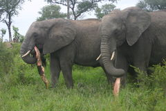 Eating elephants. The elephants was in the Reserve. They were busy to unbarked a branch Stock Photo